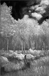 Poplar trees  2
