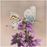 Silver Studded Blues  2
