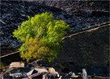 Quarry tree