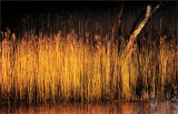 Golden reeds