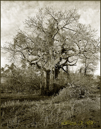Baobab in thicket, Lengwe, 1984