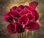 Red zantedeschias