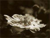 Anemone tritoned