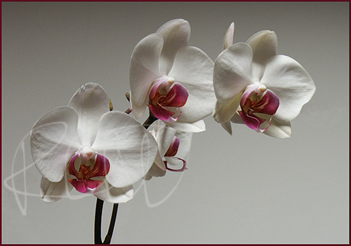 Phalenopsis orchid, 2007