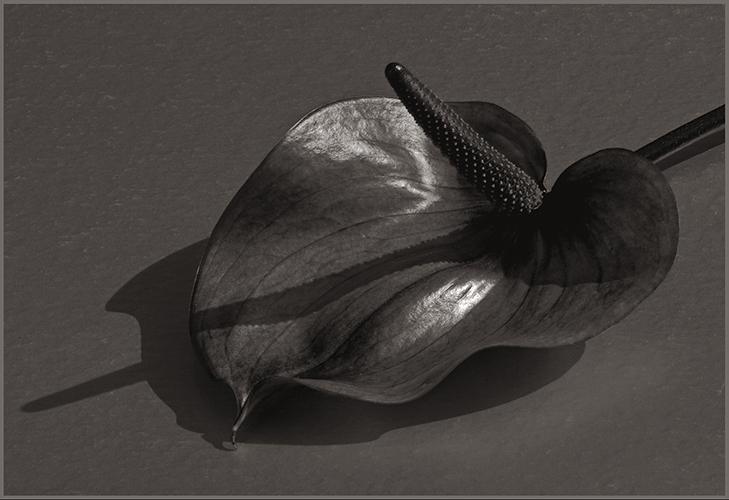 zantedeschia tritoned CP