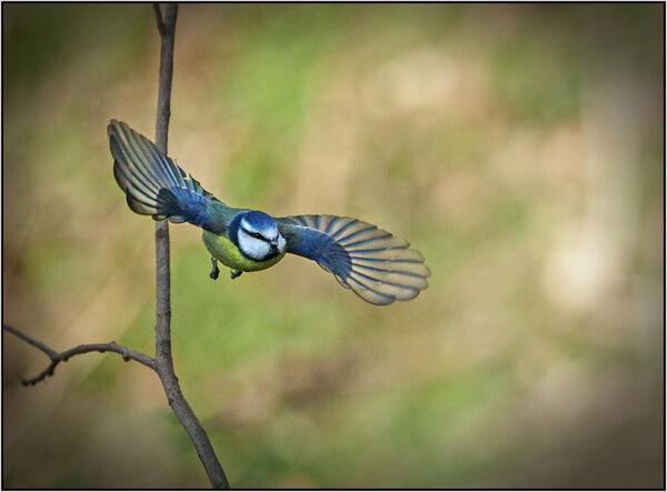 Blue tit take off = Mary Pipkin