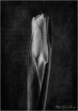 Iris by Window light - Martin Smith