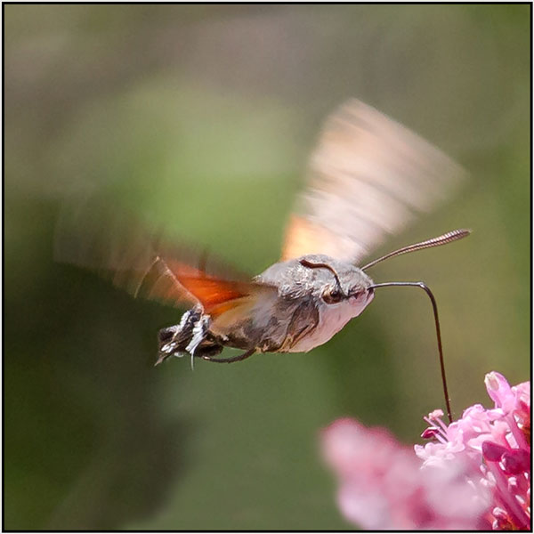 Hummingbird hawk moth - Mary Pipkin