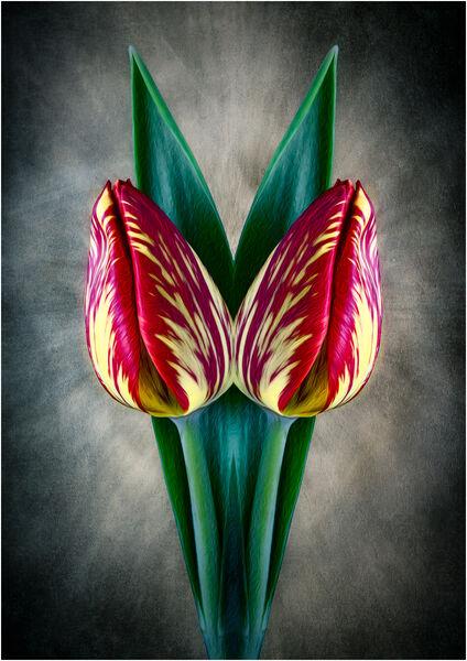 Conjoine tulips - Martin Smith