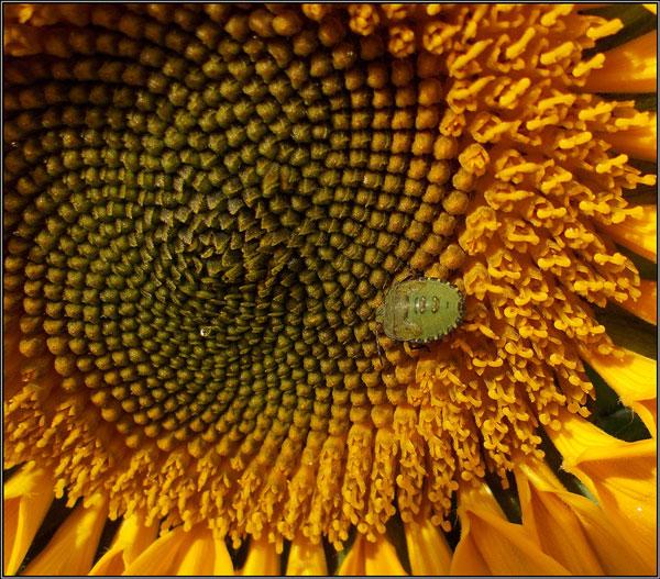 Bug on Sunflower - Margaret Ledgard