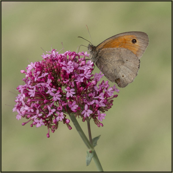 Meadow brown - Mary Pipkin