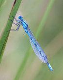 14 Common blue Damselfly
