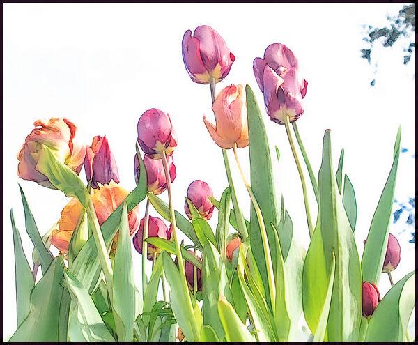 Tulips - Lynne Ball