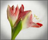 Petals and stamens - Mary Pipkin