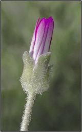 Mesembryanthemum - Mary Pipkin