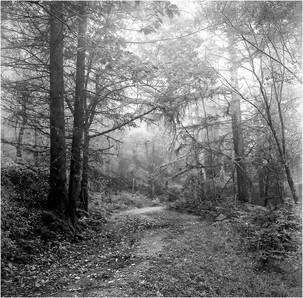 Misty Woodland - John Hufferdine