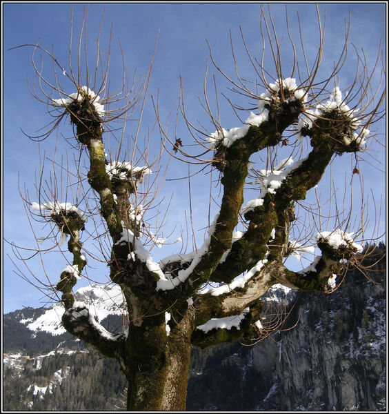 Snowy branches - Margaret Ledgard