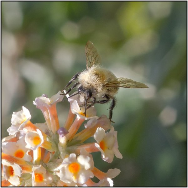 Bee fly - Mary Pipkin