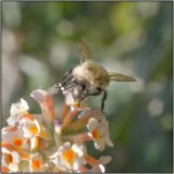 Bee fly - Mary Pipkin