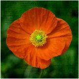 Poppy - Martin Smith