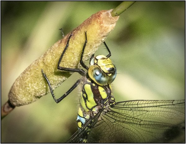 Southern hawker - Mary Pipkin