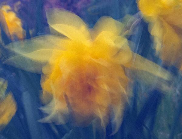 Daffodil in the wind - Lynne Ball