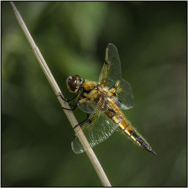 Four spotted chaser at rest - Mary Pipkin