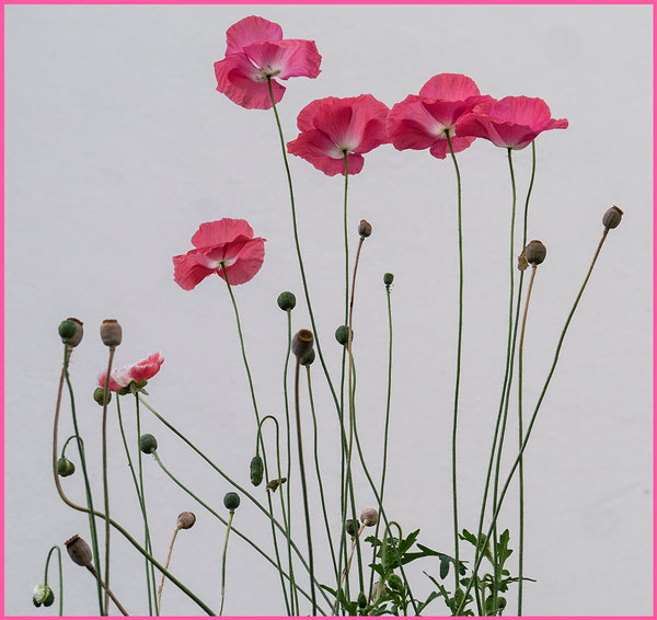 Ian Ledgard - Pink poppies
