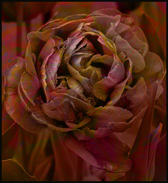 Tulip fantasy - Lynne Ball