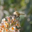 4 Cuckoo bee
