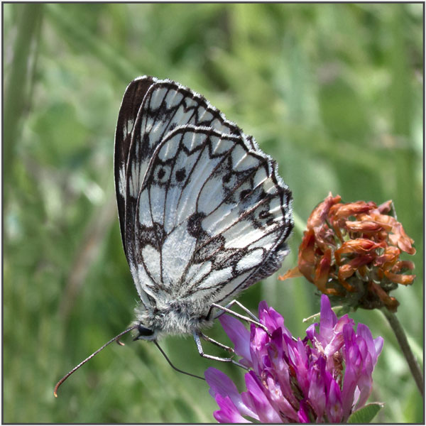 Marbled white - mary Pipkin