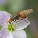 5 Hover fly