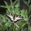 7 Swallowtail