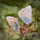 9 Common blue pair