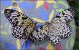 Butterfly pair - Margaret Ledgard