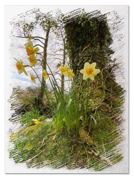 Daffodil sketch - Jane Evans