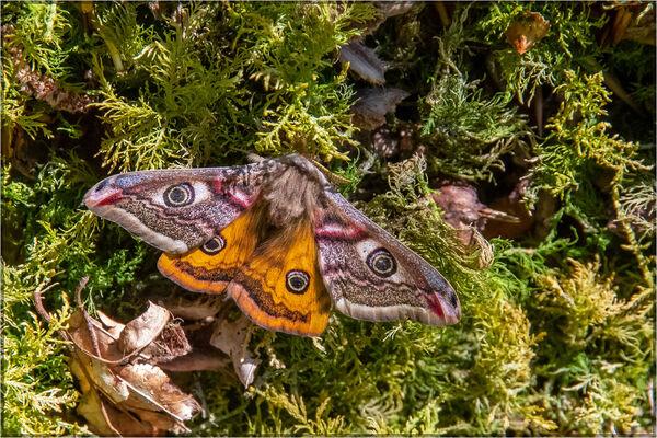 Emeperor moth - Mary Pipkin