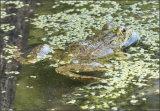 Iberian green frog