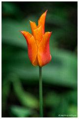 Kencot tulip 2