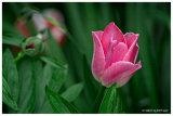 Kencot tulip