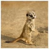 Mini Meerkat