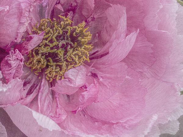 Pink peony - Lynne Ball