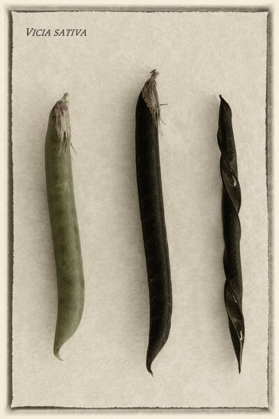 Seed pods - Mary Pipkin