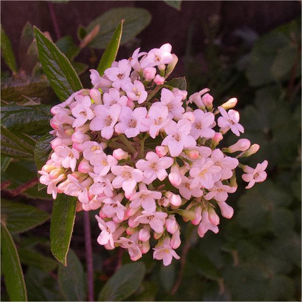 Spring blossom - John Hufferdine