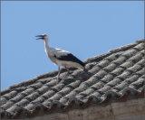 White stork on roof