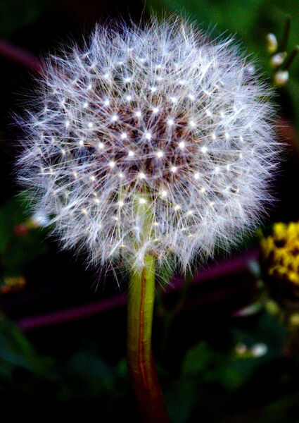 Dandelion clock - Sue Hiley