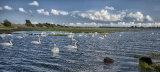 Swans galore