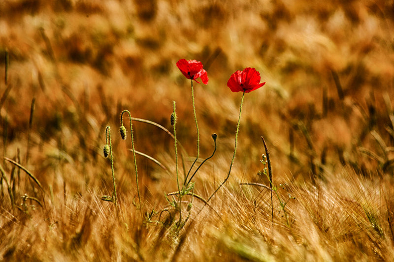 Poppies amongst the Barley