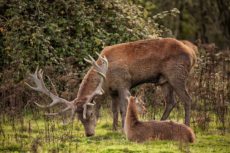 Red deer stag browsing with hind