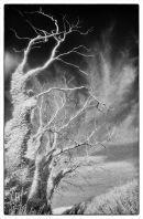 Ivy - clad trees